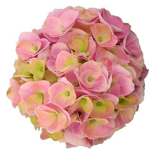 Blomsterhoved af en pink hortensia, Pink Intensity