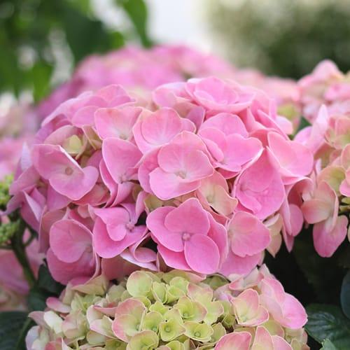 Close up billede af en pink Hortensia