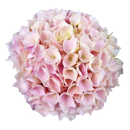 Blomsterhoved af en pink hortensia, Pink Sky