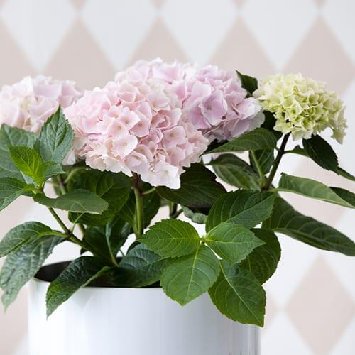 Pink Hortensia i en hvid vase