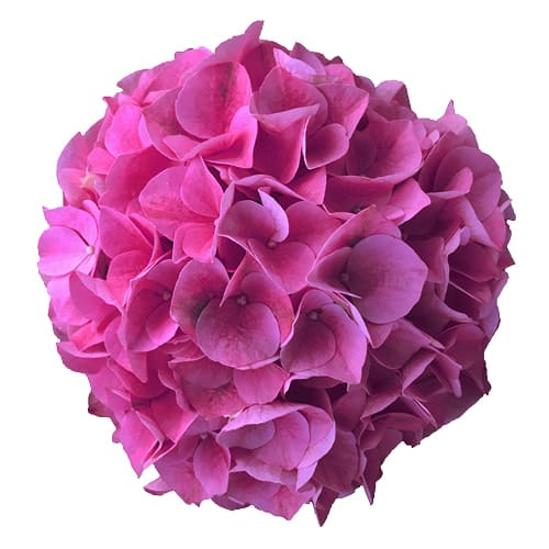 Blomsterhoved af en pink hortensia, Pink Sunset