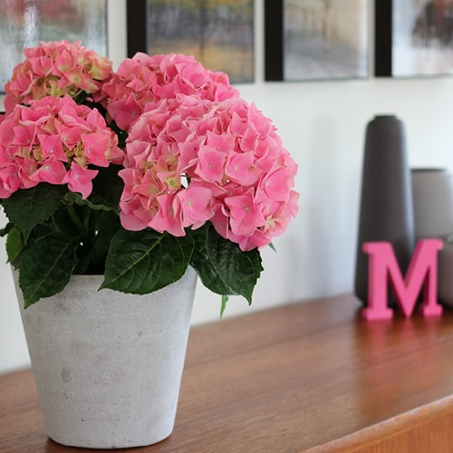 Pink Hortensia i en graa vase