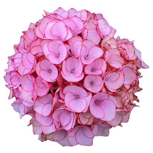 Blomsterhoved af en pink hortensia