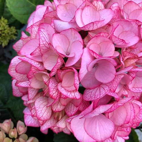 Close up billede af en pink Hortensia med roede aarer