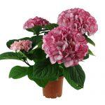 Varebillede af en pink Hortensia