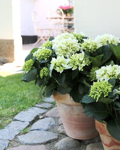 Hvid Hortensia i krukker