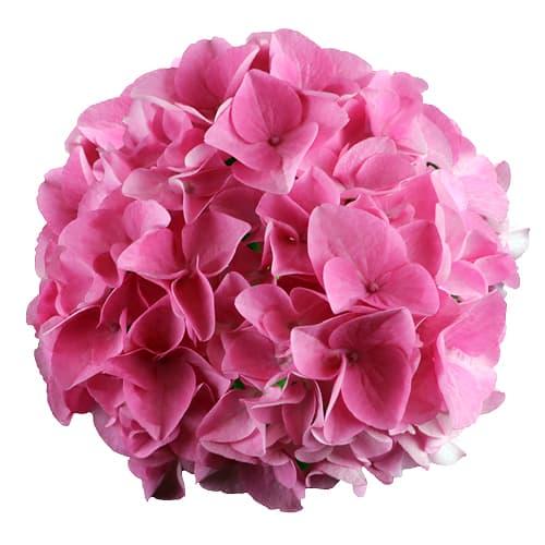 Blomsterhoved af pink hortensia