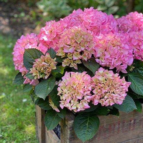 Pink Hortensia i kasse, som staar udenfor