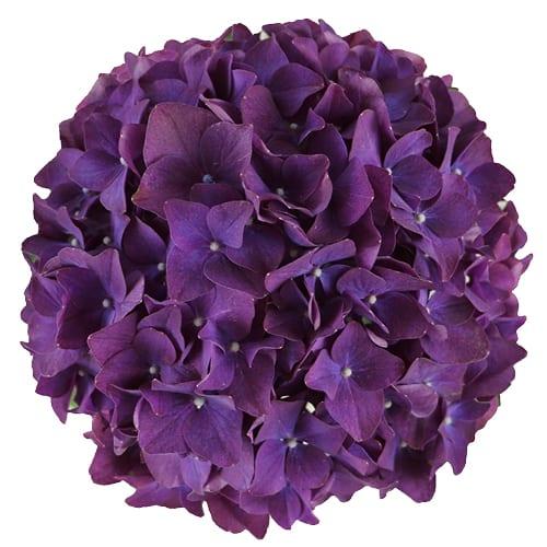 Blomsterhoved af en lilla hortensia