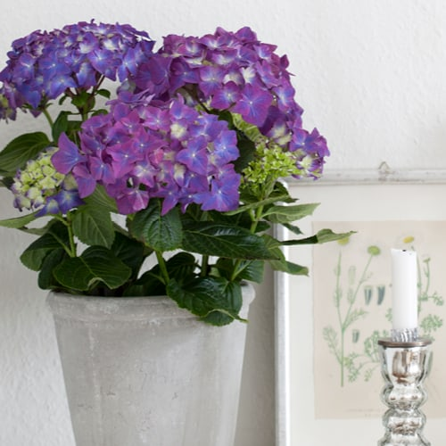 Lilla Hortensia i graa vase