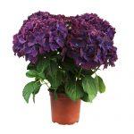 Varebillede af en lilla Hortensia, Purple Romance