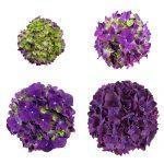 Lilla Hortensia blomstens udvikling, Purple Romance