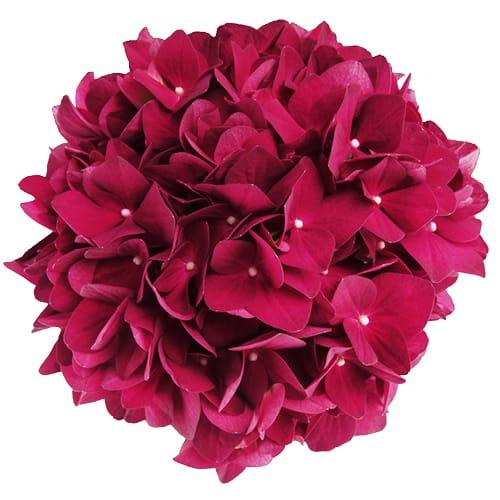 Roed hortensia blomsterhovede
