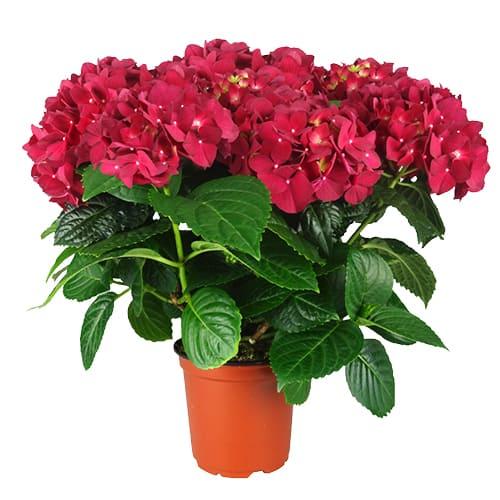 Varebillede af en roed Hortenia, Red Romance