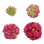Stadierne fra knop til blomst af en roed Hortensia, Red Romance