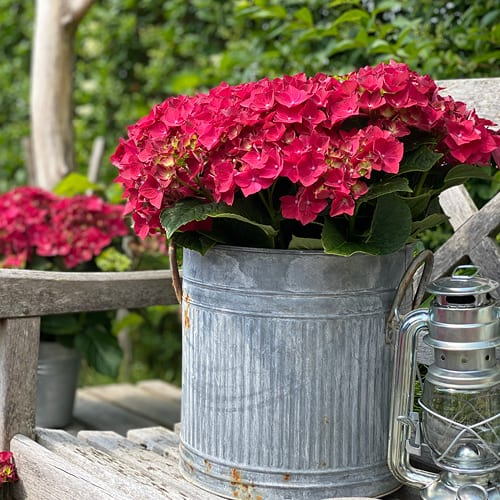 hortensia roed 2