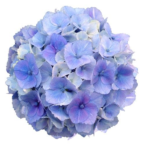 Blomsterhoved af en blaa blomst