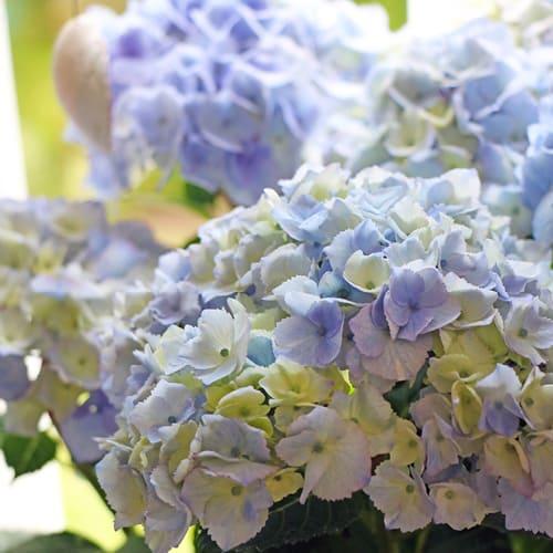 Blaa Hortensia, Sparkling Blue blade