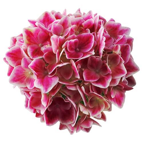 blomsterhoved af en pink hortensia med hvide kanter