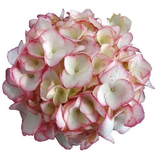 Blomsterhoved af en hvid hortensia med pink kant