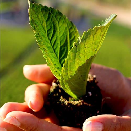 Groenne blade fra en hortensia