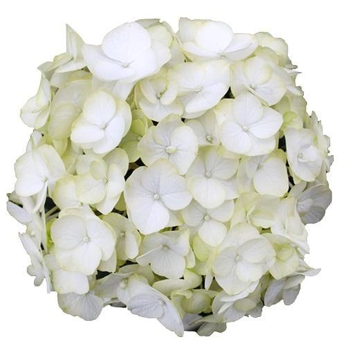 Hvid blosmterhoved af en hortensia - White Adore
