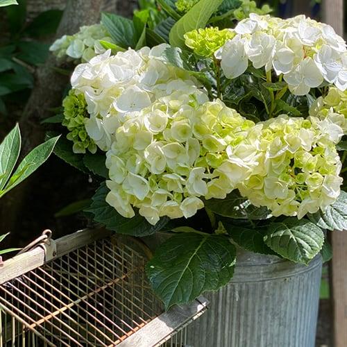 Dekorationsbillede af en hvid Hortensia