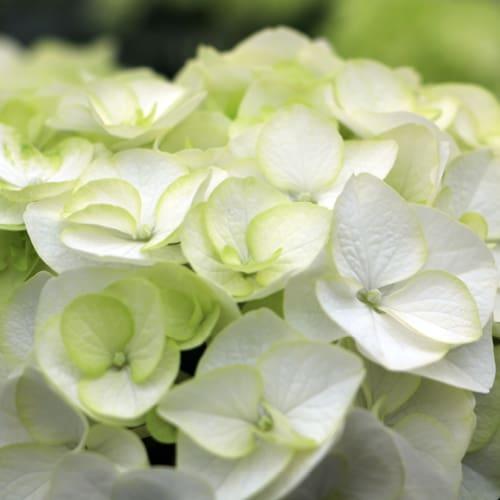 Close up billede af de hvide blade på en Hortensia