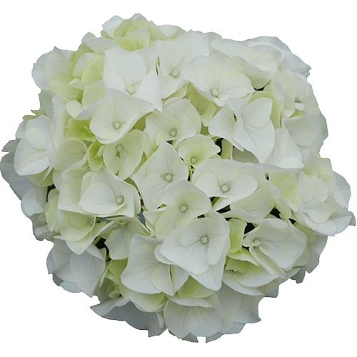 Hvid blomsterhoved af en hortensia - White Obsession