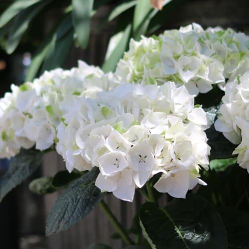 Billede af en hvid Hortensia