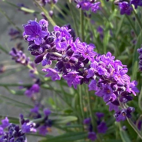 lavendel lilla blomst