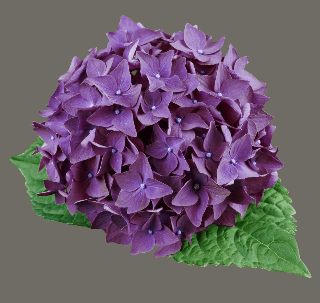 Hydrangea Deep Purple blomst med blade
