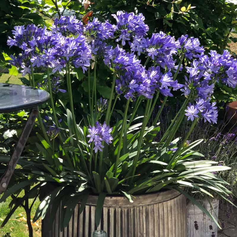 blaa Agapanthus blomst i stor krukke