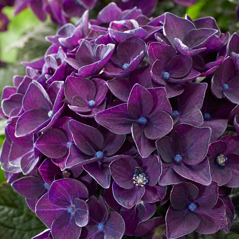 hortensia deep purple blomst