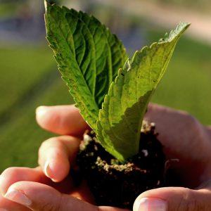 Lille plante af en hortensia