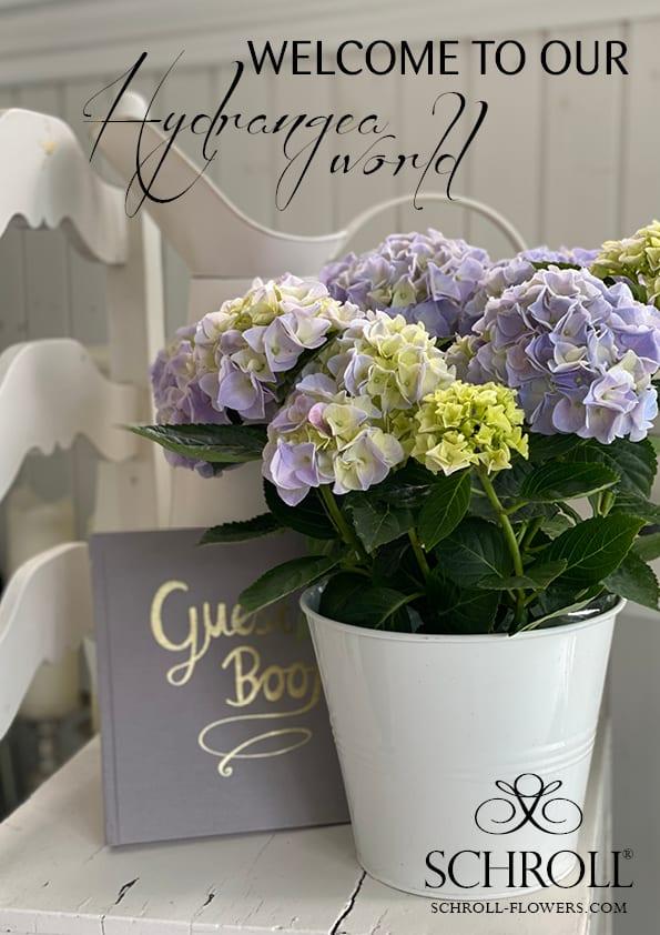 lilla Hortensia i en hvid vase.