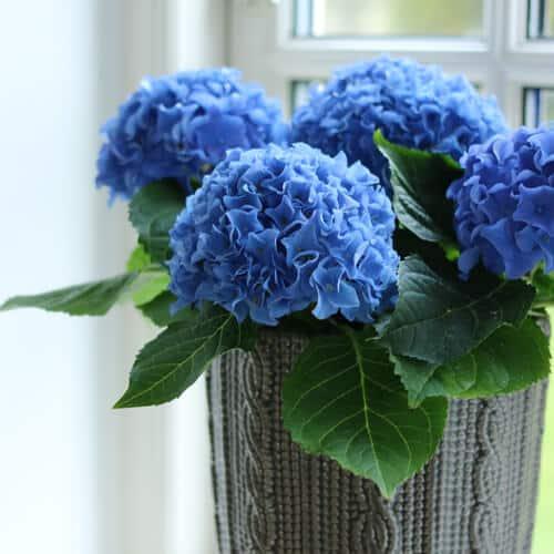Blaa Hortensia i vase ved vinduet