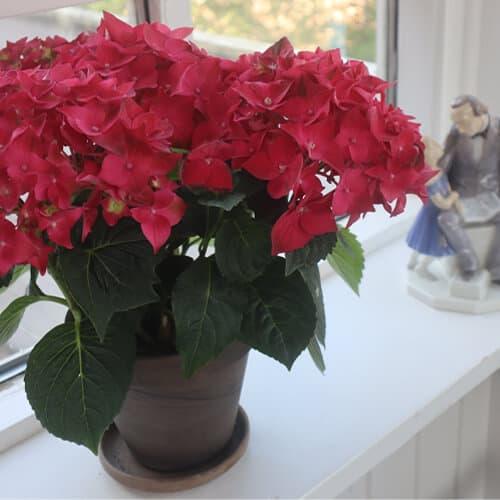 Roed Hortensia i vindueskarmen