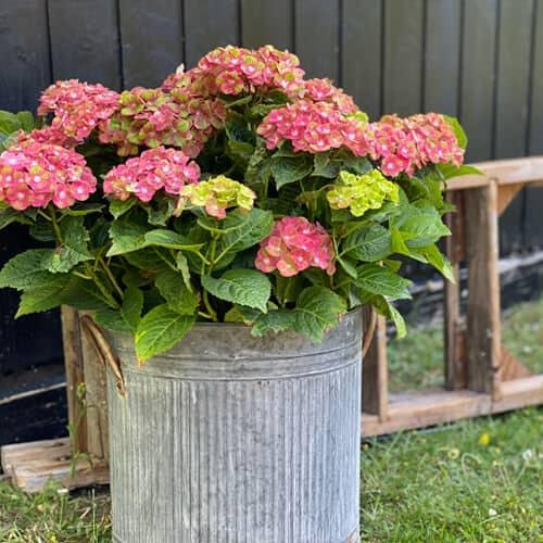 Pink og groon Hortensia i en spand