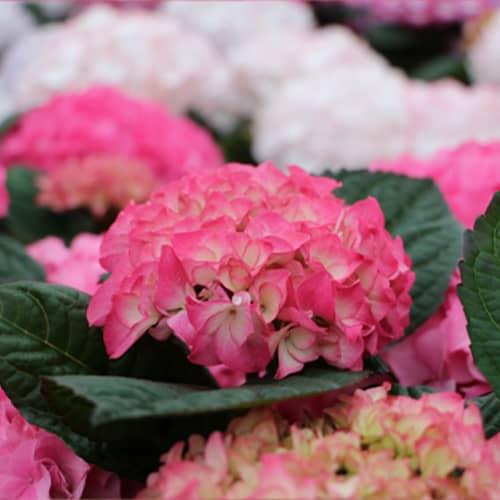 Closeup billede af en pink Hortensia
