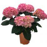 Produktbillede af en pink Hortensia
