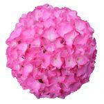 Pink blomsterhoveder fra en Hortensia