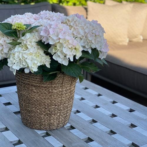 Lys Pink Hortensia som staar paa et bord
