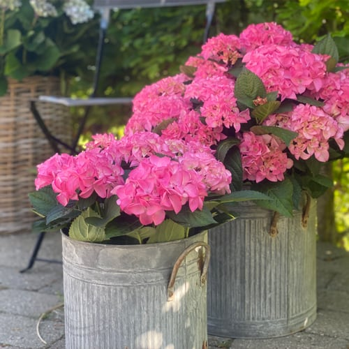 To pink Hortensia i spande