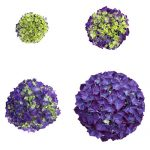 Lilla blomsterhoveder i forskellige stadier, Purple Power