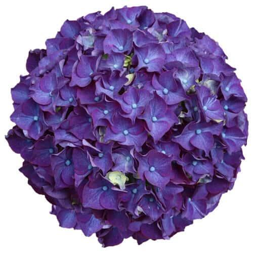 Lilla blomsterhovede fra en Hortensia, Purple Power