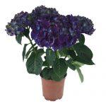 Lilla Hortensia - Produktbillede, Purple Power