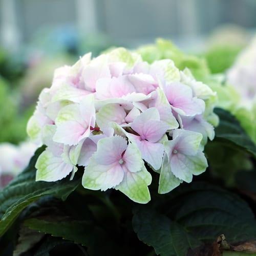 Pink med lidt groen farvede Hortensiahoved