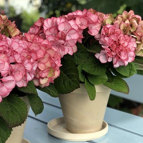 Pink Hortensia med roede aarer i krukker