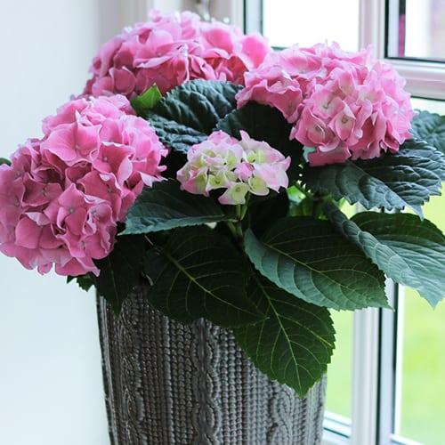 Pink Hortensia i en vinduekarmen